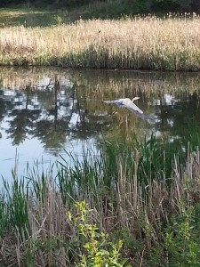 My blue heron friend during this morning's walk
